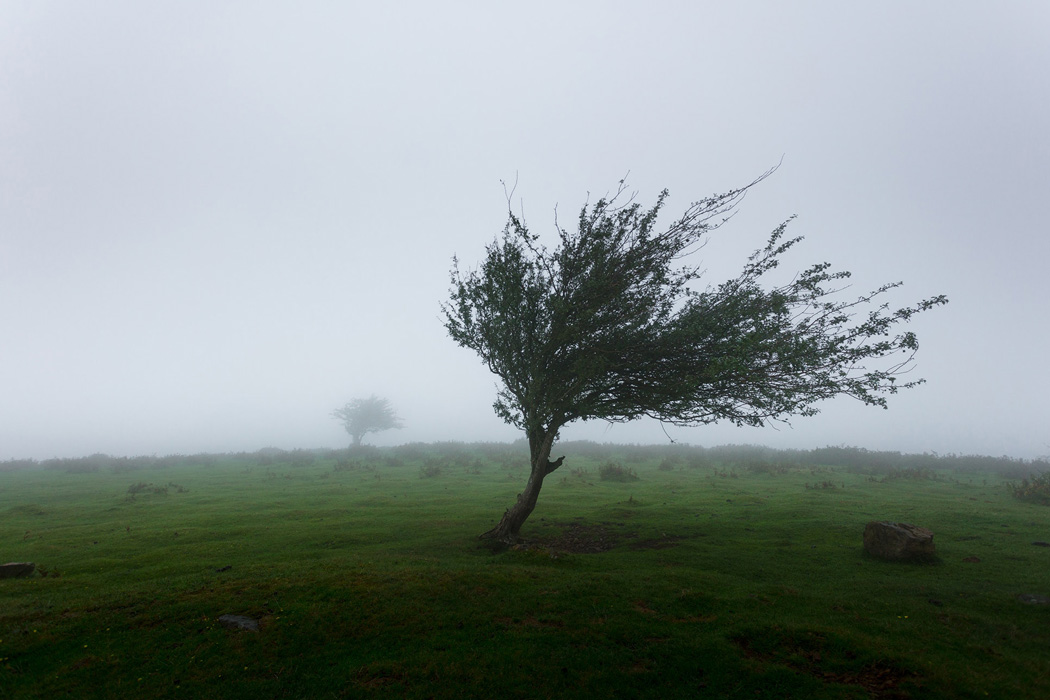 A tree with branches blown sideways by wind