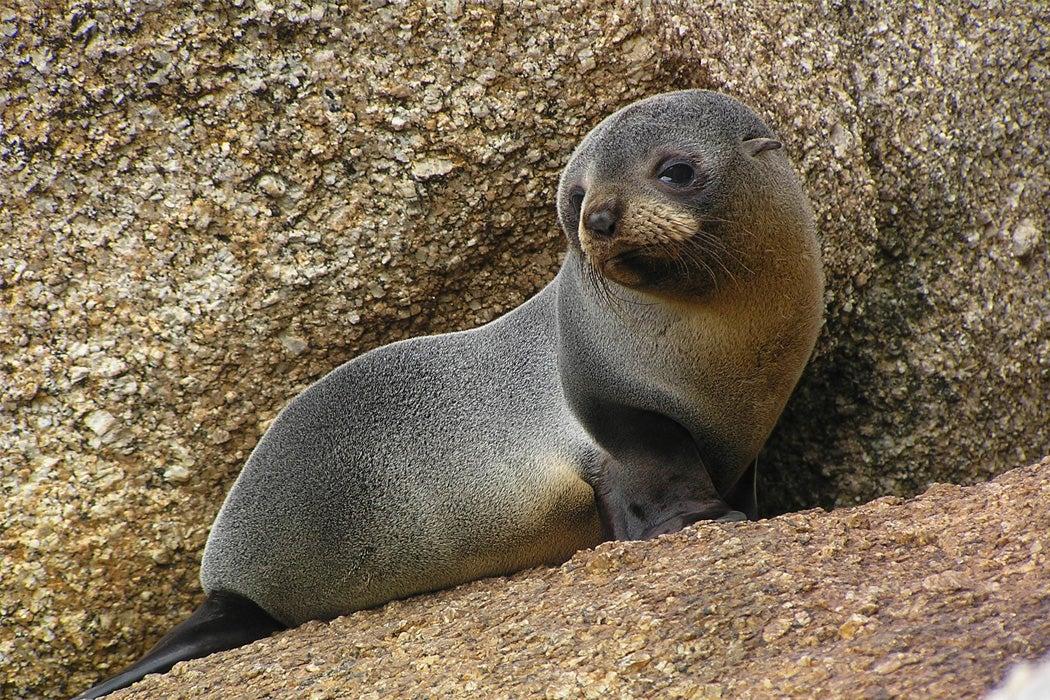 An Australian fur seal pup.
