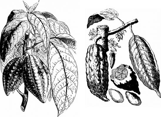 Cacao pods and leaves