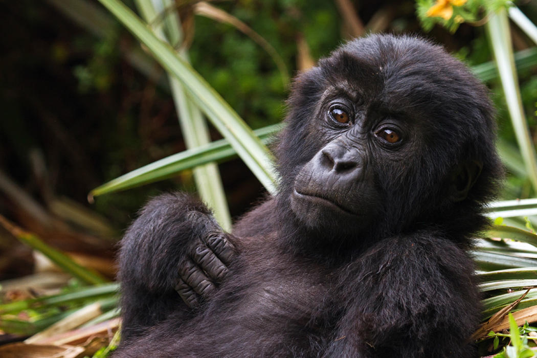 An Eastern Lowland Gorilla infant