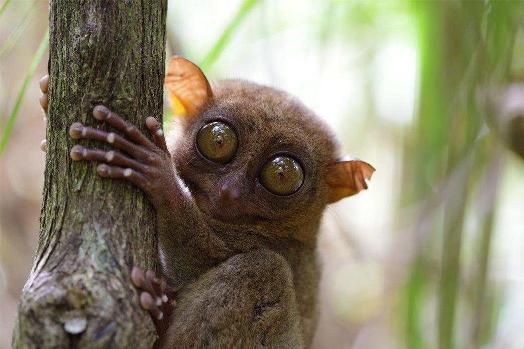 A tarsier