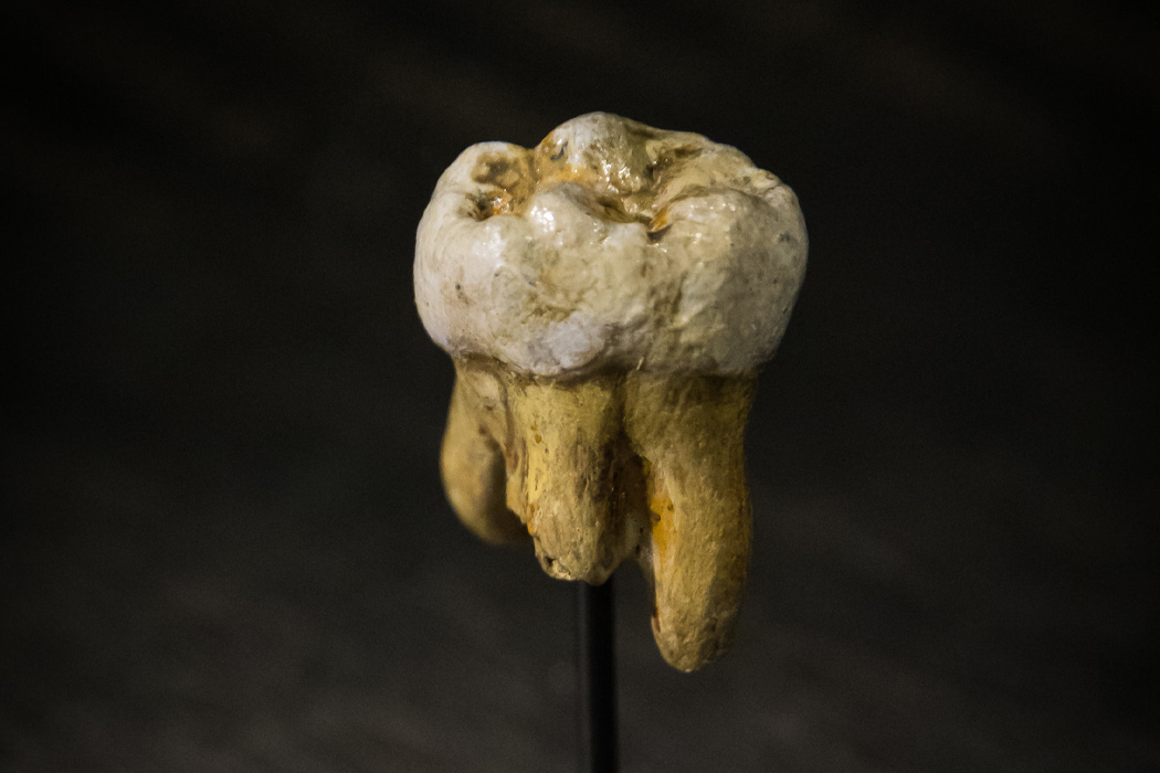 Replica of a Denisovan molar, originally found in Denisova Cave in 2000