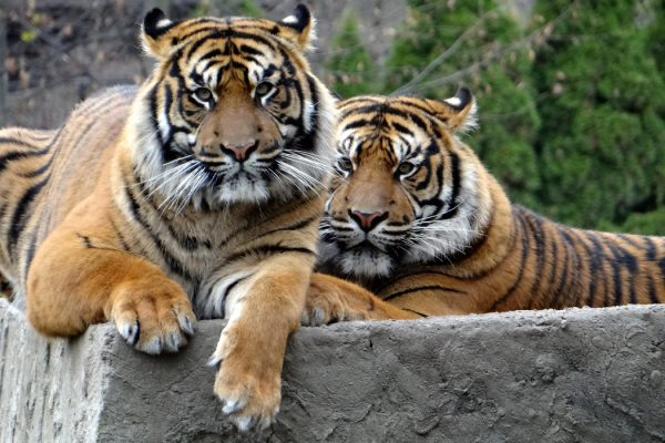 Two Sumatran tigers