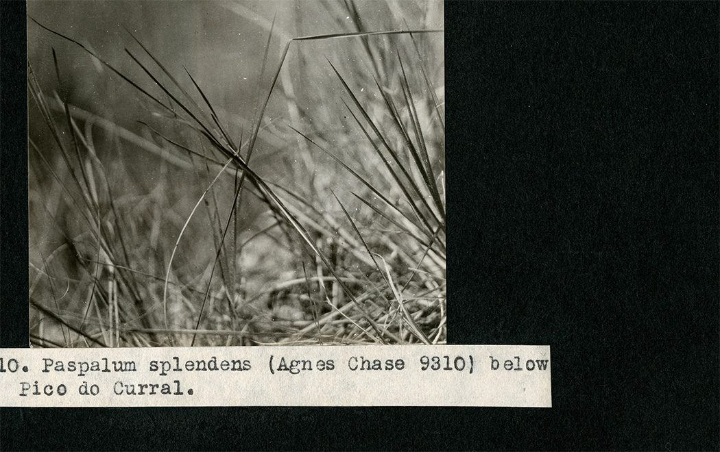 From Mary Agnes Chase's expedition to Brazil, 1924-1925