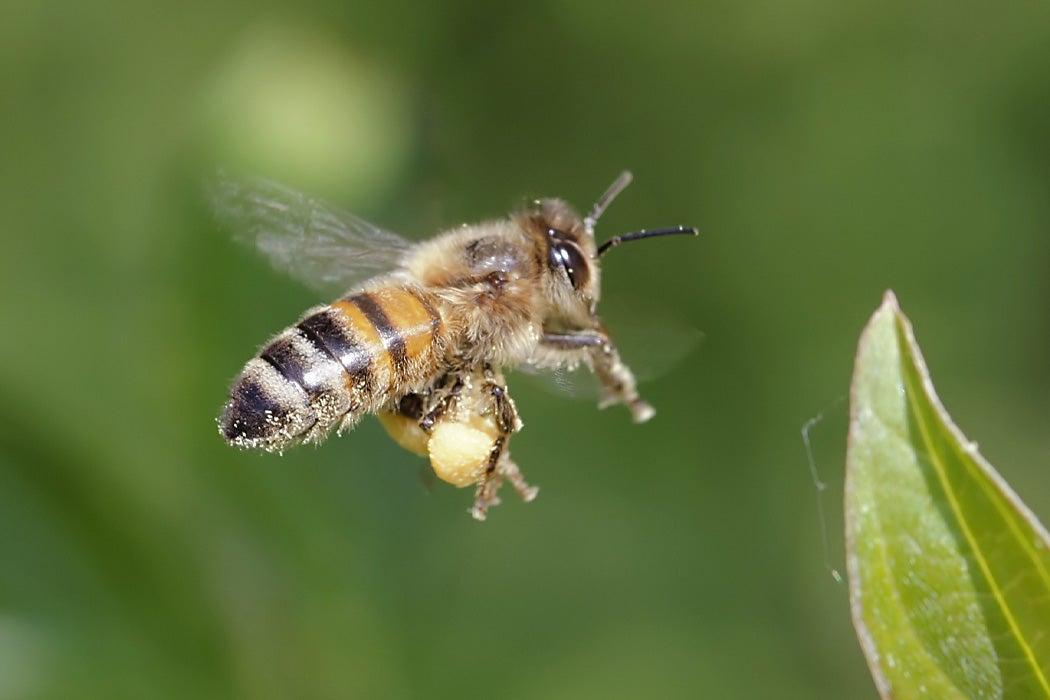 Pornic - 13/08/2019 - Pornic. Au secours des abeilles sauvages avec Hirondelle