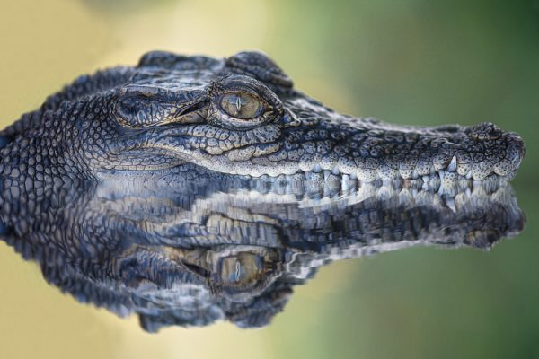 Reflection of crocodile submerged in water, Australia
