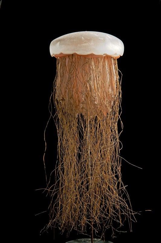 Cyanea capillata, Lion's Mane Jellyfish