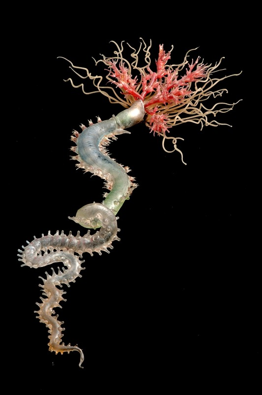 Pista cretacea, Spaghetti Worm