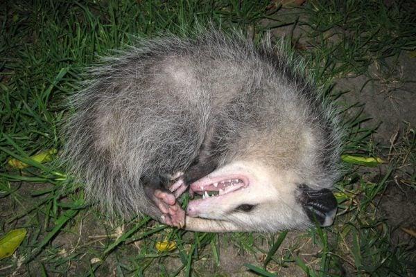 An opossum feigning death