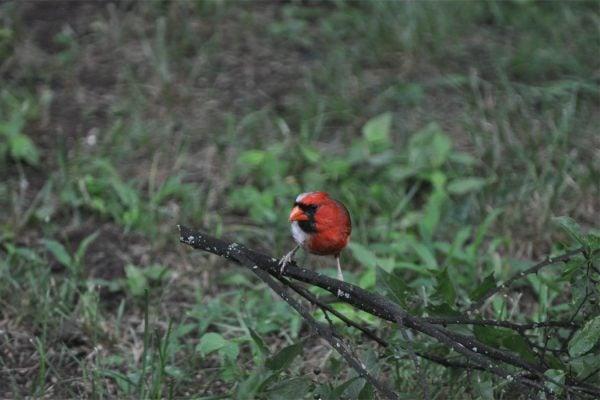 Bilateral Gynandromorph Cardinal
