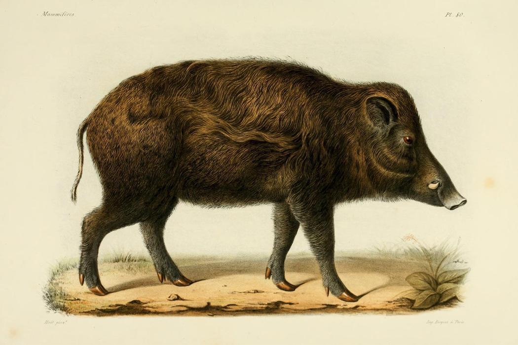Illustration of a wild boar, between 1868 and 1874