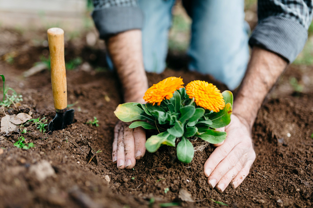 A gardener planting yellow flowers in the soil.