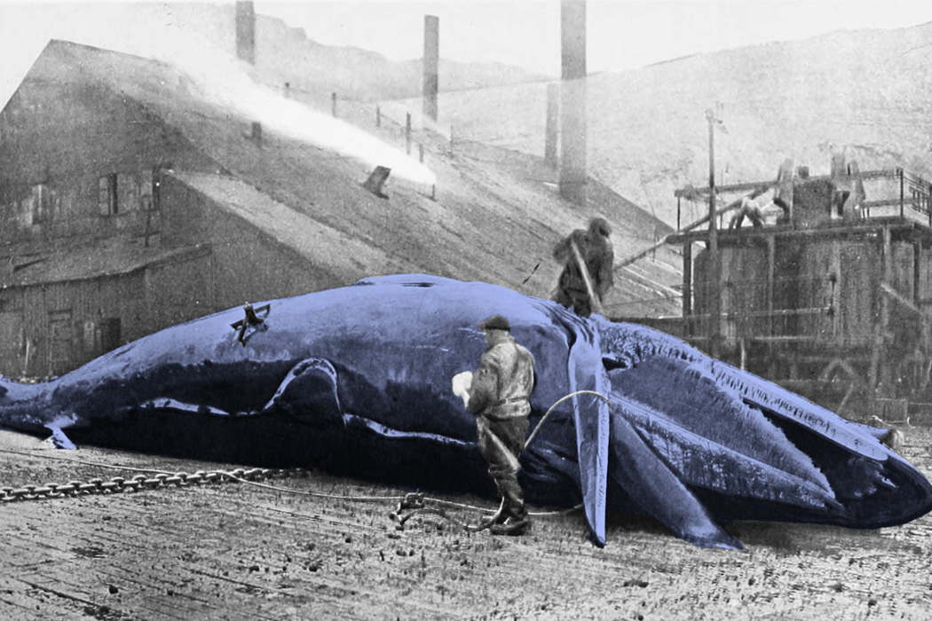 A dead whale being cleaned by whalers