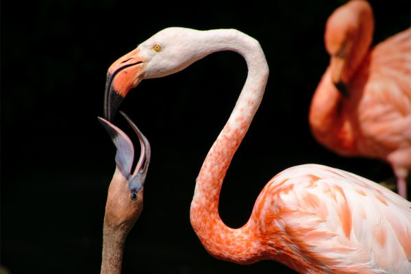 A flamingo feeding its young