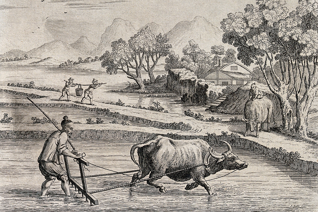 Raking rice paddies in China with an ox-drawn plough. Engraving by J. June after A. Heckel.