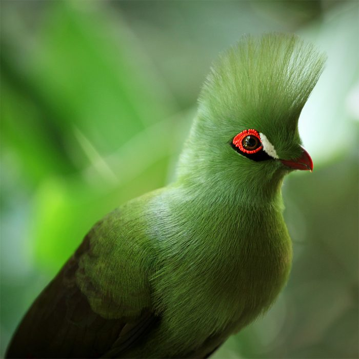 A Turaco in South Africa