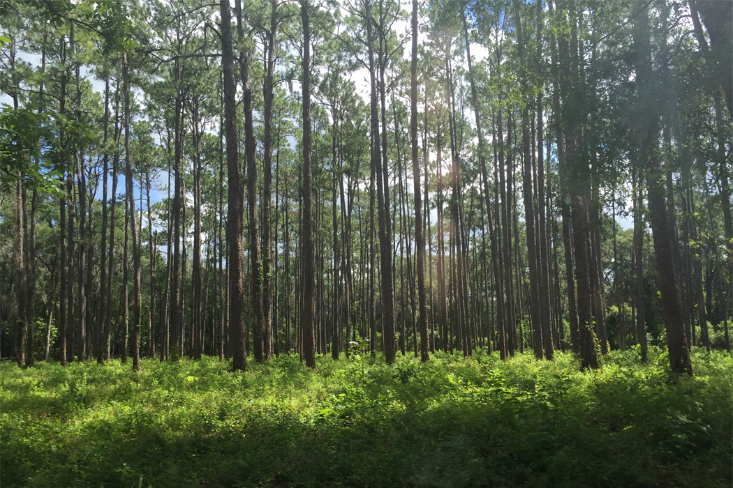 Florida Longleaf Pines