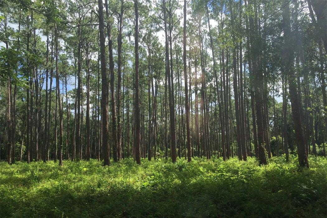 How Longleaf Pines Helped Build the U.S.