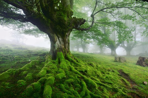 A large tree with moss-covered roots.
