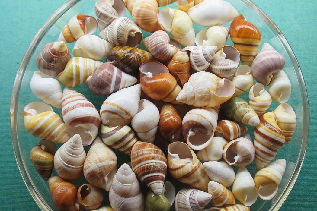 Shells of the Hawaiian tree snail