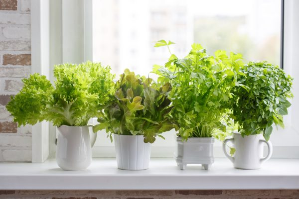 Potted herbs sitting on a windowsill