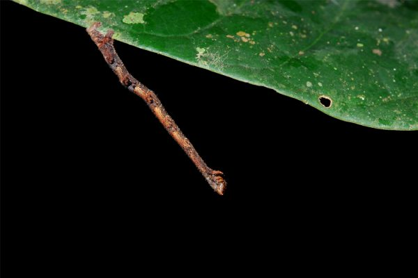 A geometrid moth caterpillar