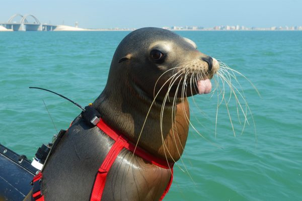 A Navy Marine Mammal Program (NMMP) California sea lion waits for his handler to give the command to search the pier for potential threats during International Mine Countermeasures Exercise (IMCMEX in Manama, Bahrain