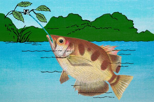 An archerfish shooting water at a bug