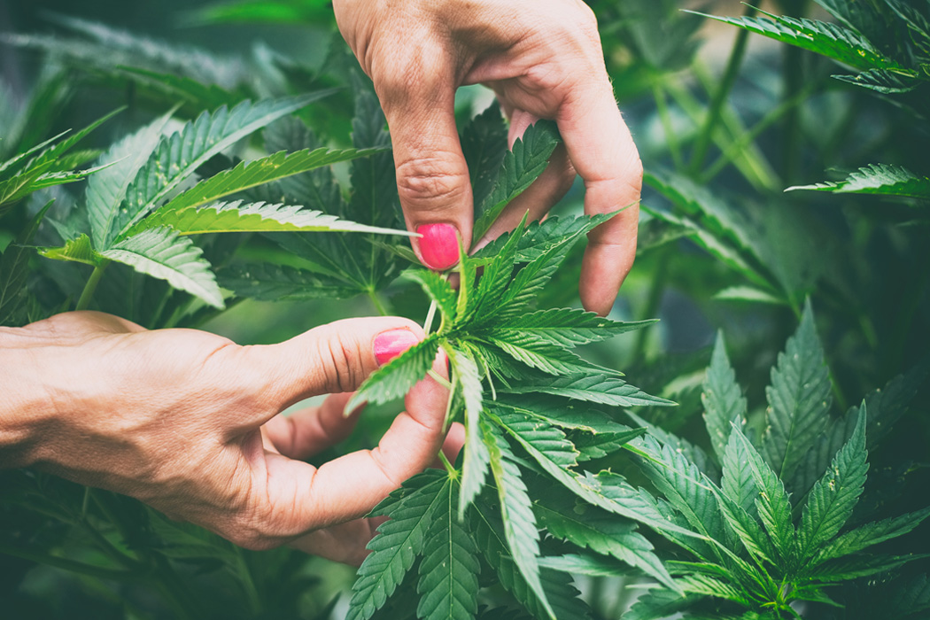 A woman's hands inspecting a cannabis plant
