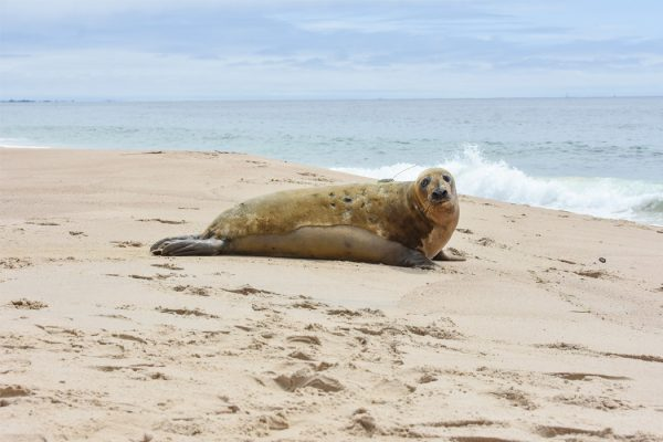 Lou-seal being released