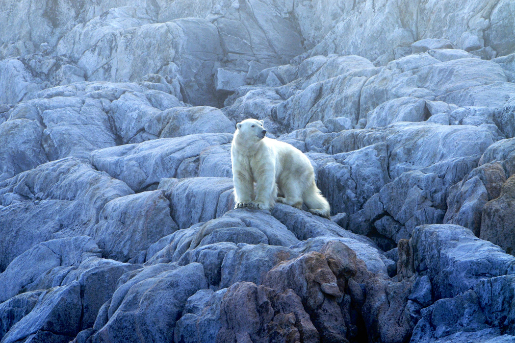 Polar Bear Walking On A Rocky Shore Line