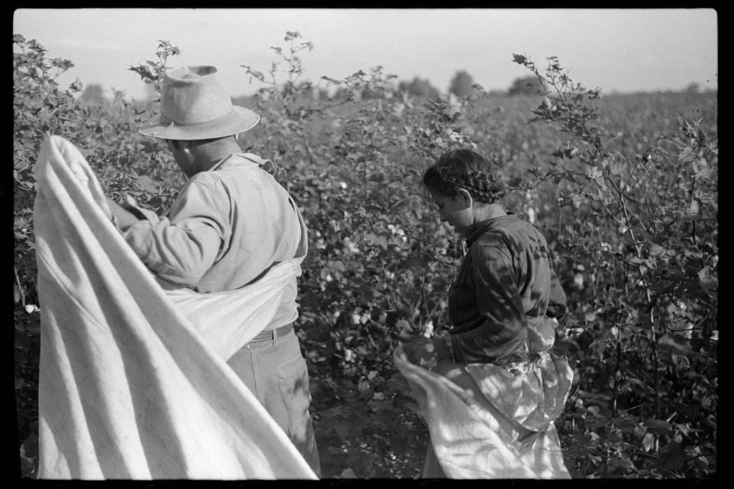 Mexican seasonal labor contracted for by planters, picking cotton on Knowlton Plantation, Perthshire, Mississippi Delta, Mississippi