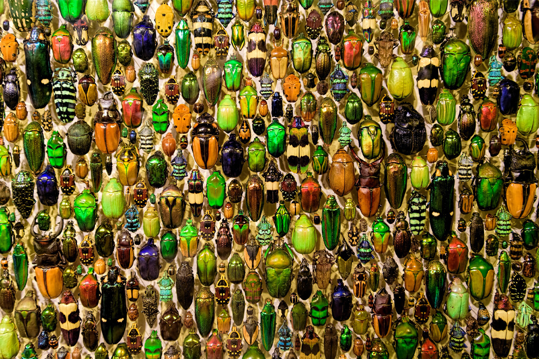A variety of beetles mounted on a board