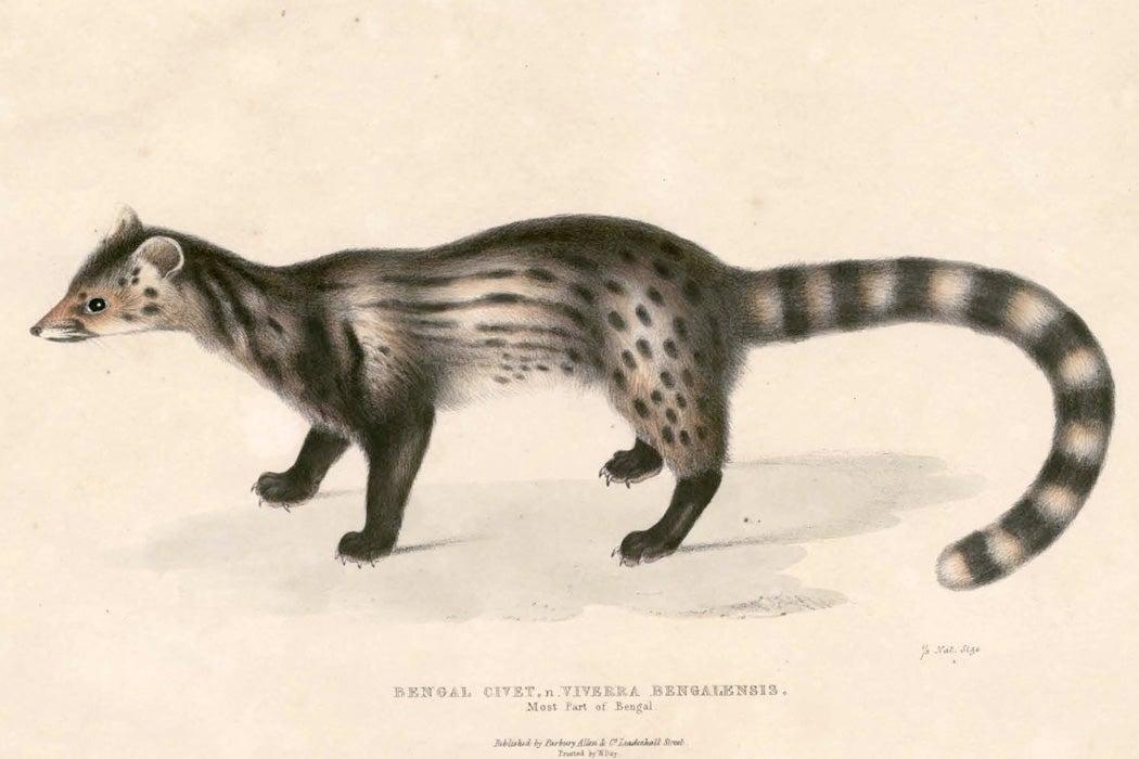 Viverra bengalensis