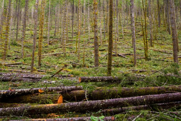 Tree thinning in a national forest shows detail of the logging industry in Oregon.