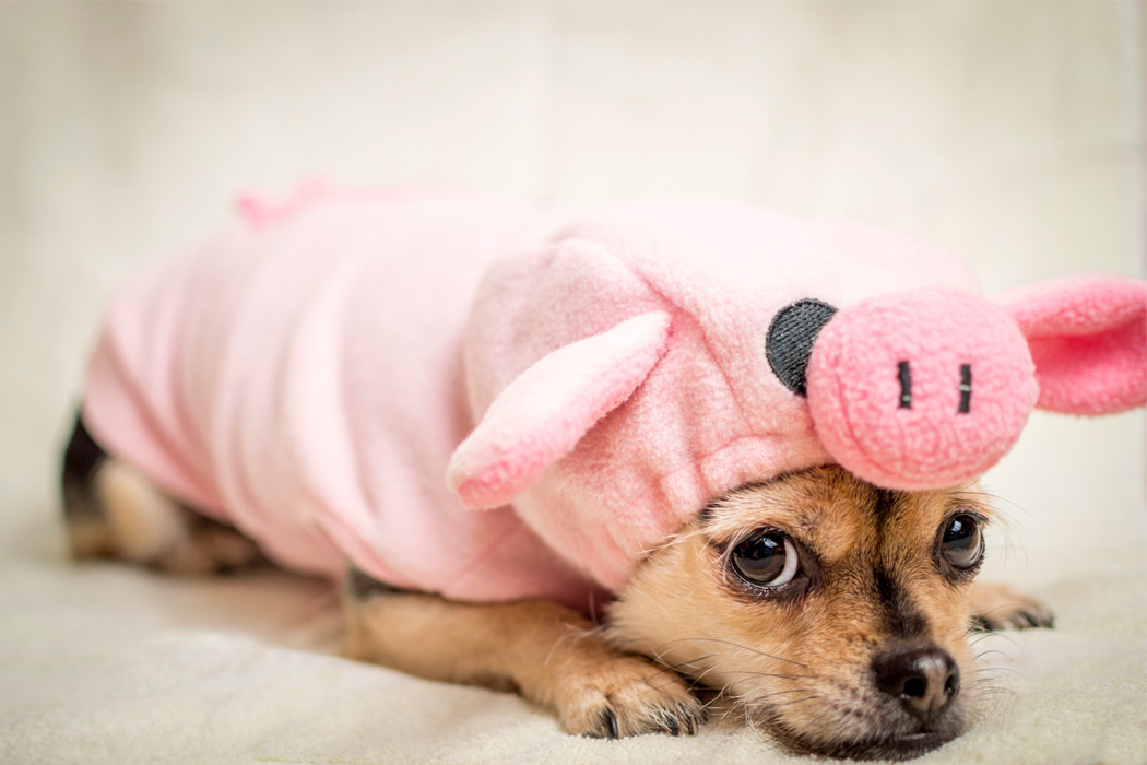 A shameful looking dog in a pig costume
