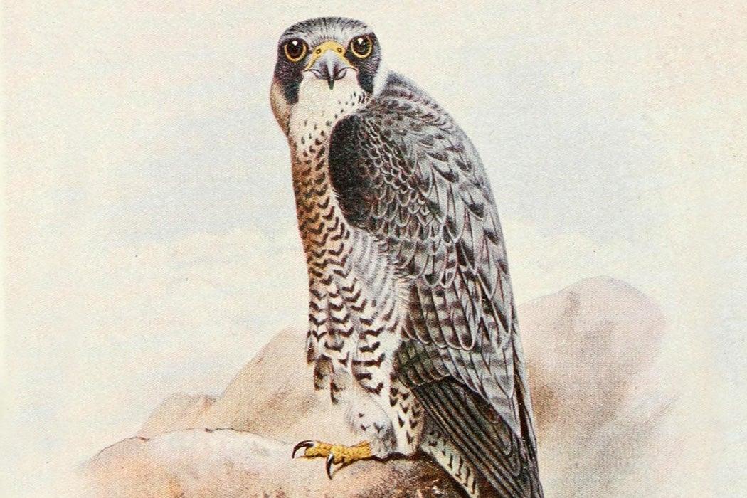 Peregrine Falcon, 1919