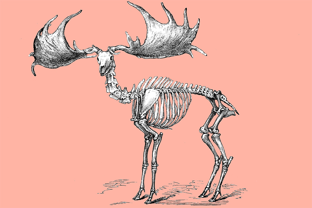 A moose skeleton