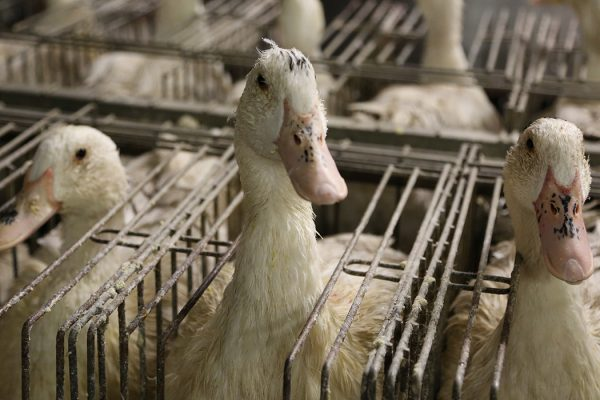 Ducks caged for foie gras