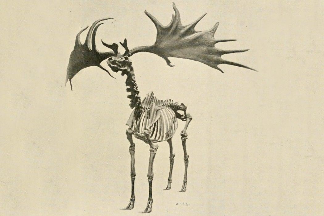 A skeleton of the Irish Elk