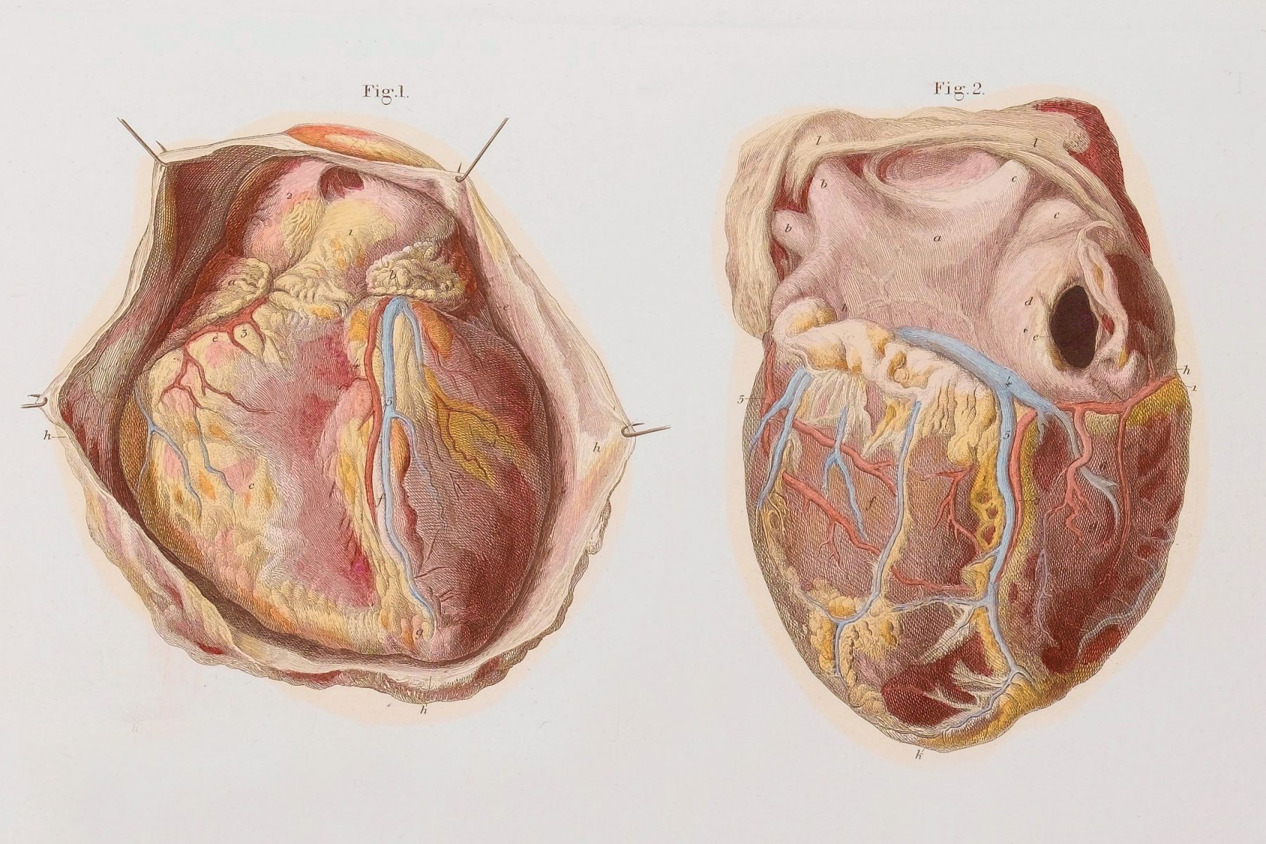 Two illustrations of the heart
