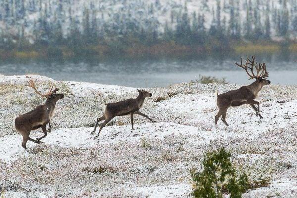 Three reindeer running through snow
