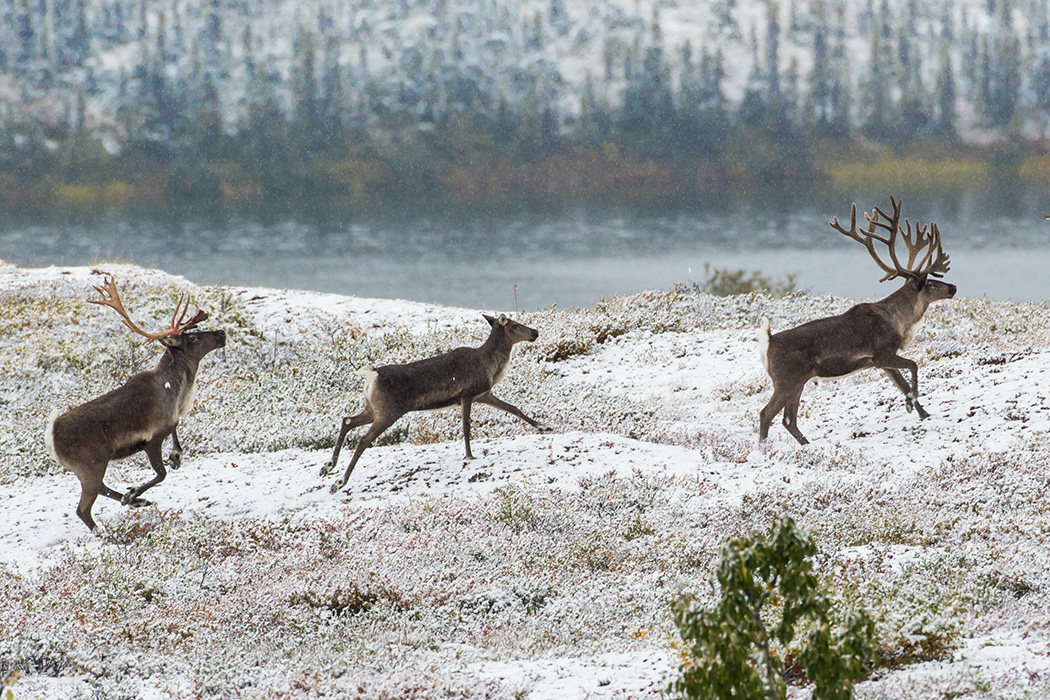 Three reindeer running through snow