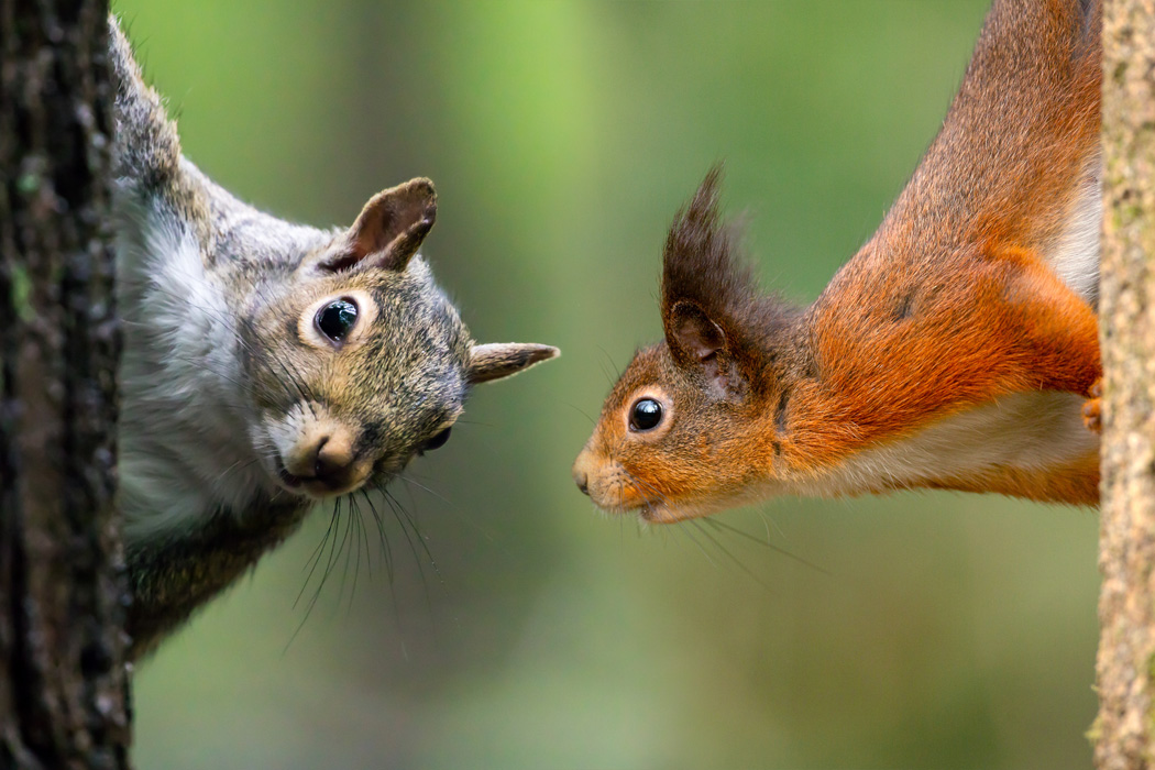 A composite image of a grey squirrel and a red squirrel