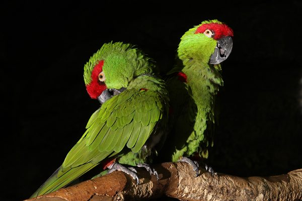 Thick Billed Parrots