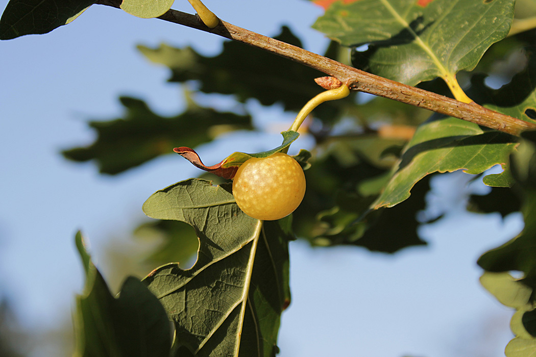 A developing Gall on a Quercus pubescens caused by the insect Cynips quercusfolii.