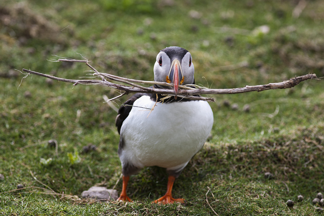 A puffin carrying tree branches in it's mouth