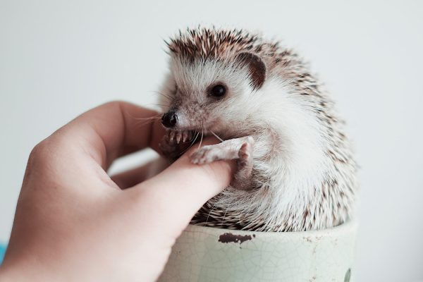 A hedgehog in a porcelain cup