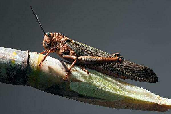 A locust standing on a sugar cane.