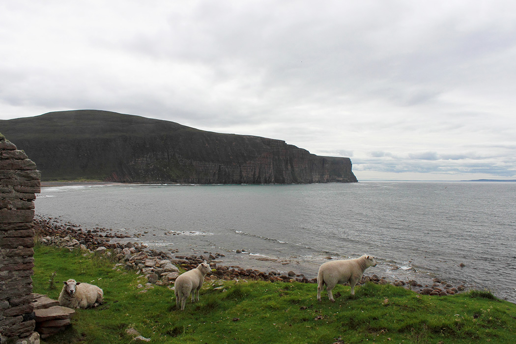 Three sheep make their home beside one of the ruins in the picturesque valley of Rackwick. Situated on Hoy, one of the many Orkney Islands off the North coast of Scotland.